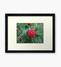 red rasberry Framed Print