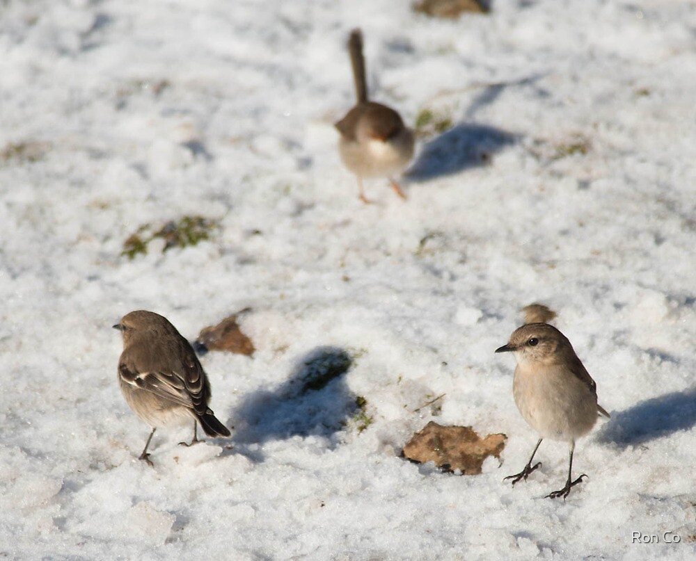 Robins and wrens fossicking in the snow  by Ron Co