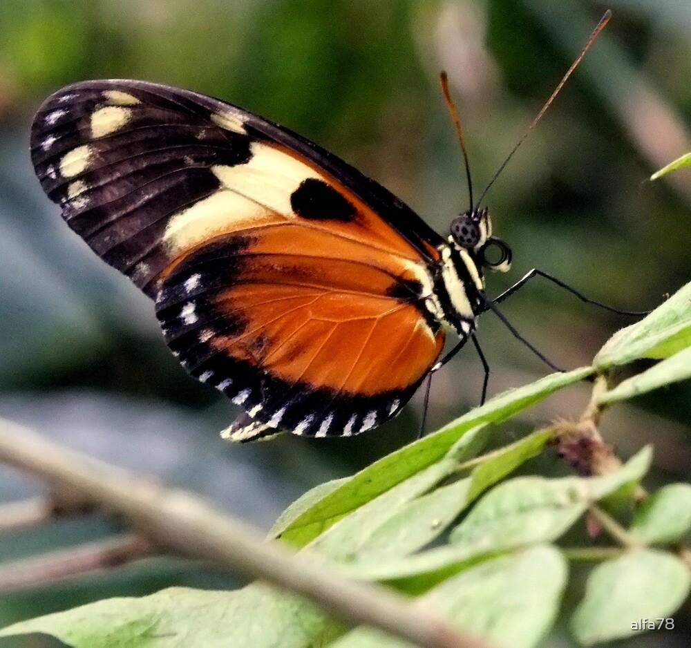 Butterfly by alfa78