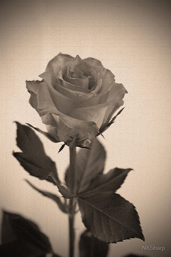 Antique Rose by NKSharp