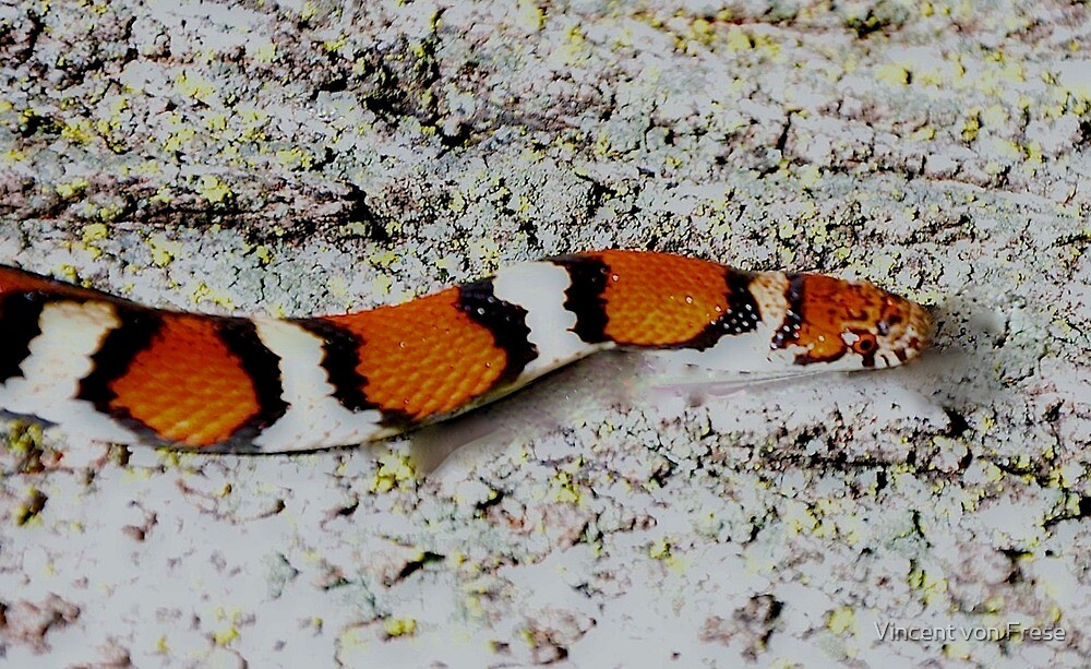 Red Kingsnake by Vincent von Frese