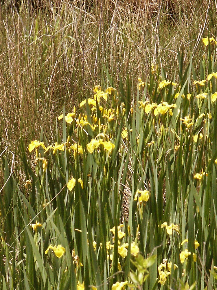 Swamp Iris by Kenneth Hoffman