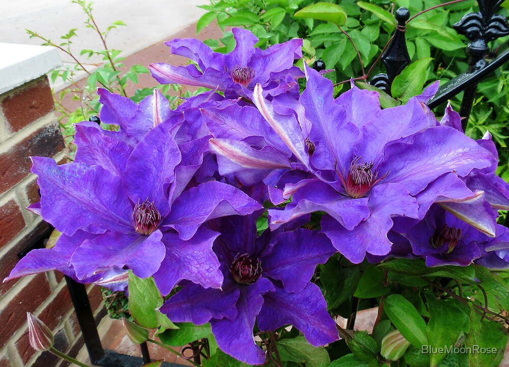 Purple Clematis Blooming in a Corner of our Garden by BlueMoonRose