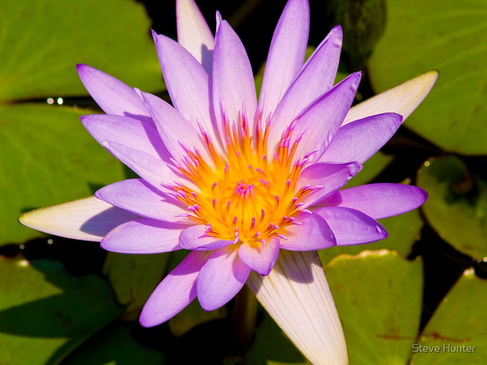 Water Lillie by Steve Hunter