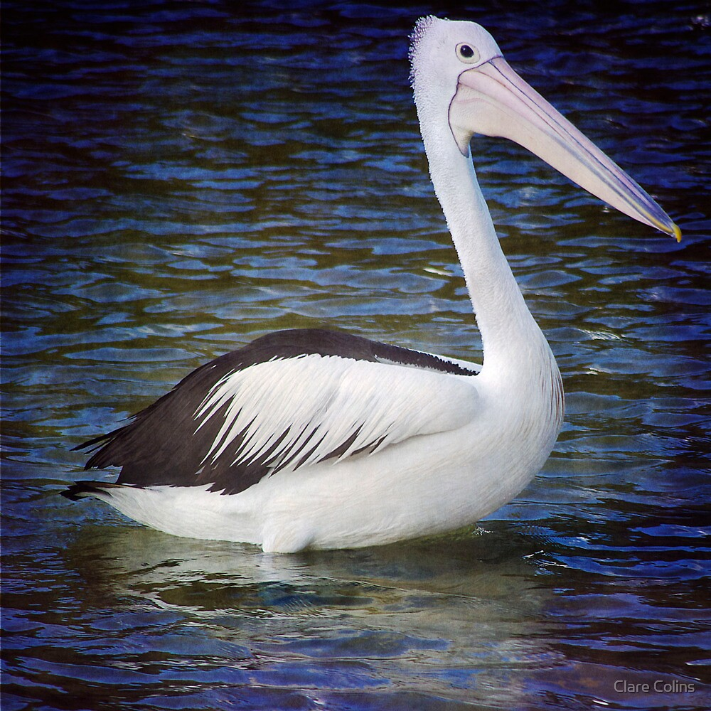 A Pelican at Hat Head by Clare Colins