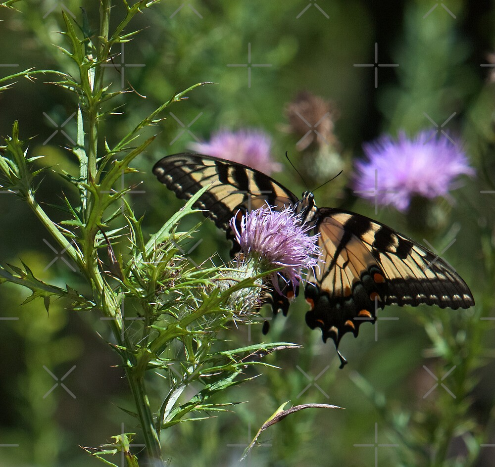 Yellow Swallowtail on Purple by Lisa Putman