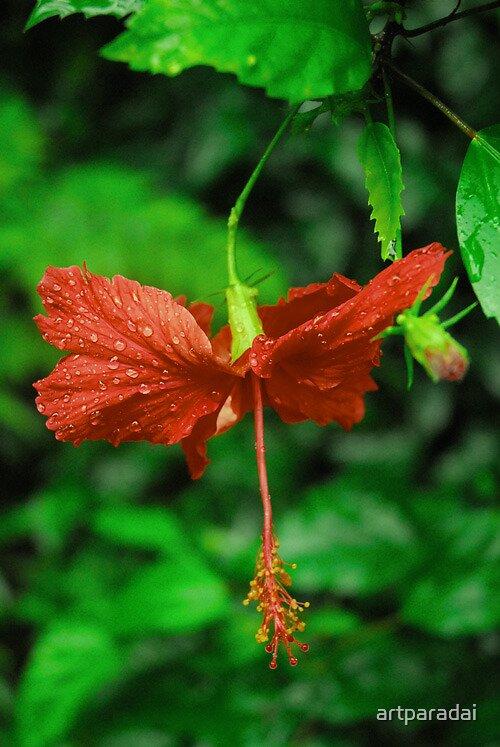 Hibiscus in flower by artparadai