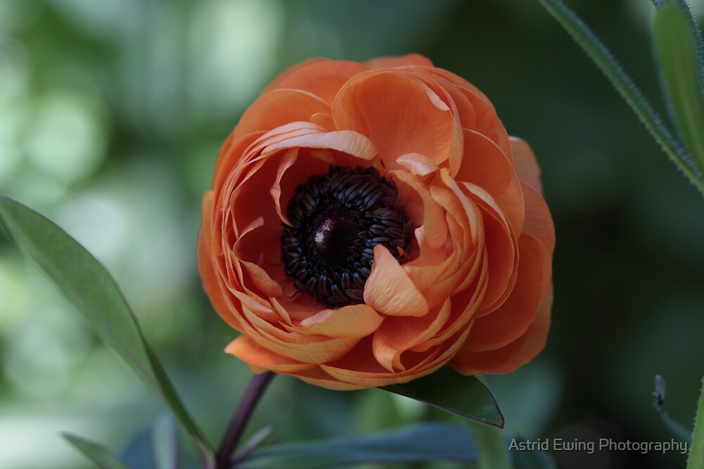 Orange Anemone by Astrid Ewing Photography