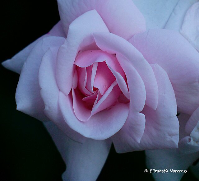 First rose to grace the garden ~ by Choux