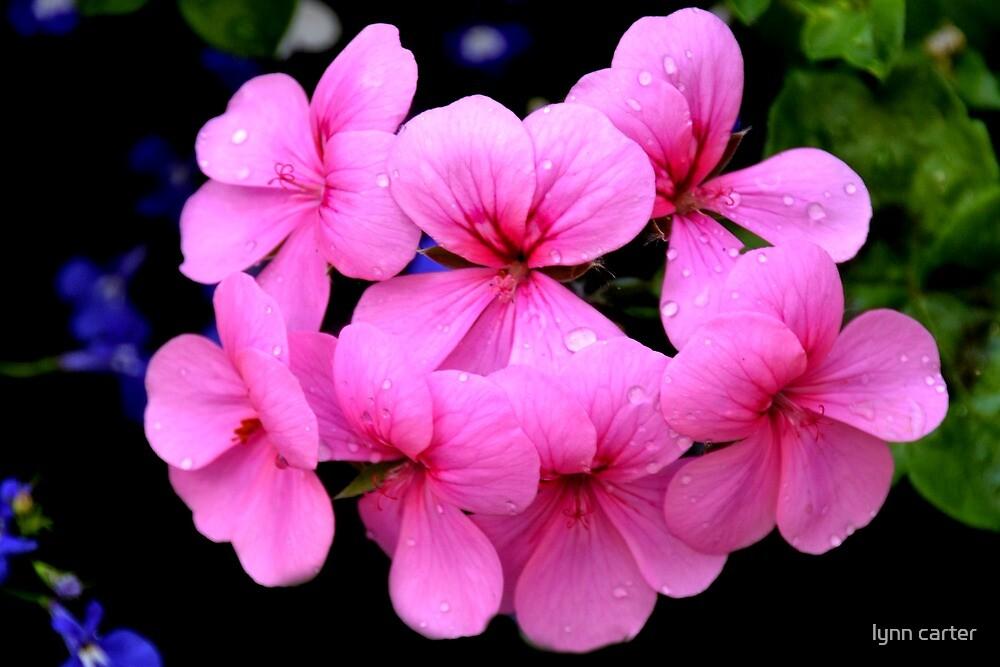 Pink Pelargonium by lynn carter