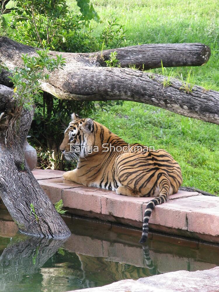 Tiger by Tanya Shockman