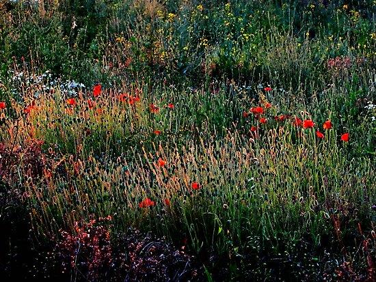 Poppy Field  by Caroline Anderson