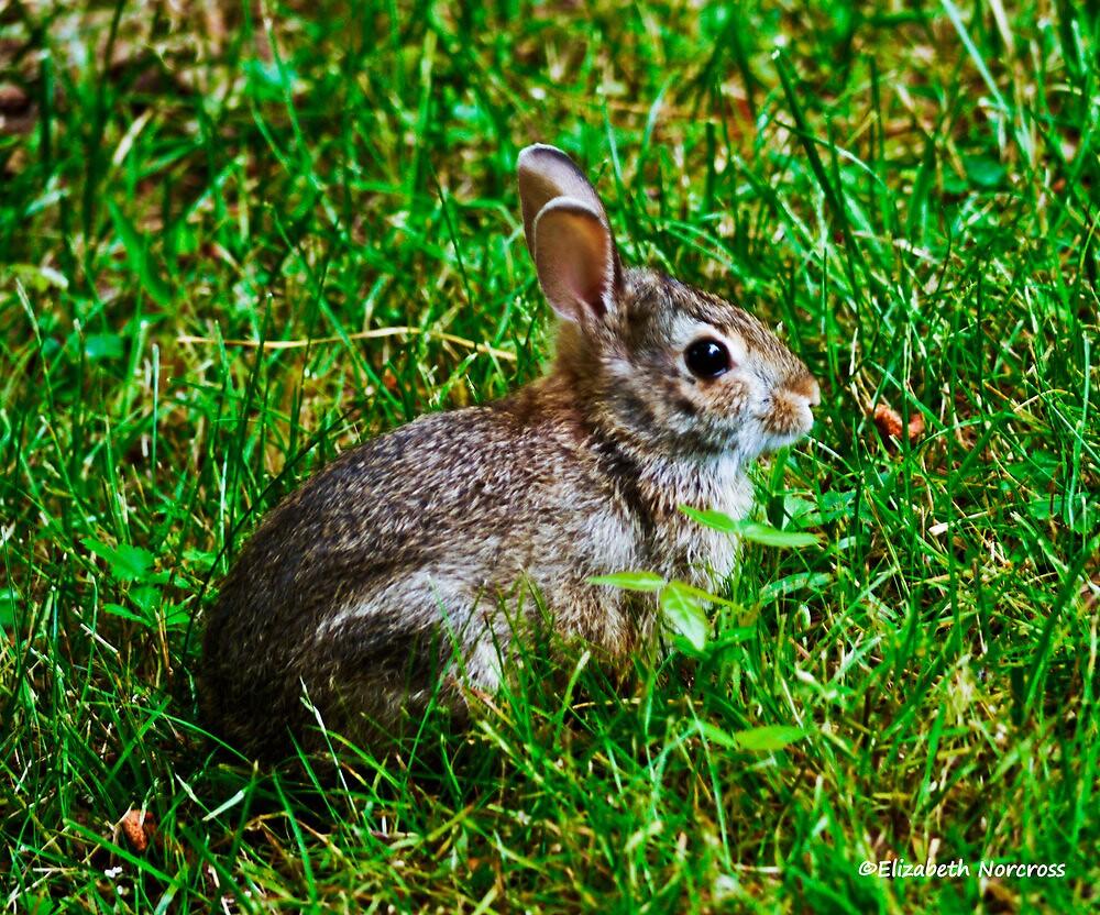 My Backyard baby bunny by Choux