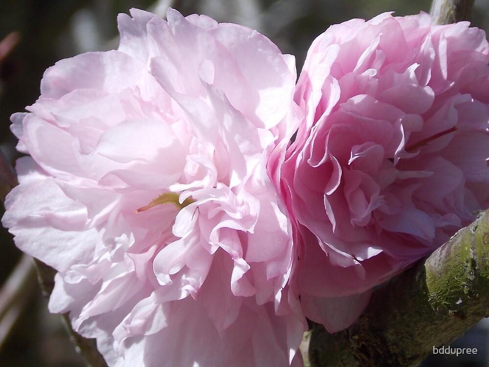 cherry blossom  by bddupree