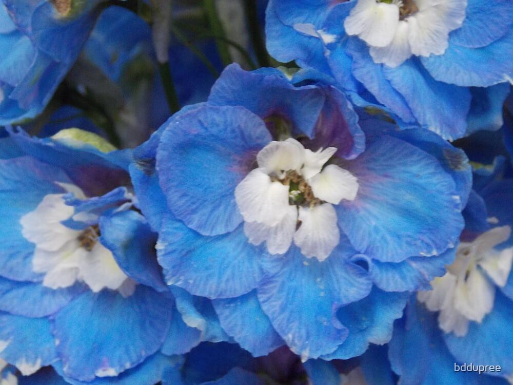 blue lavernder by bddupree