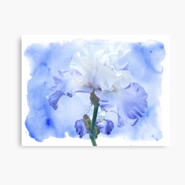 True Blue - Bearded Iris Canvas Print
