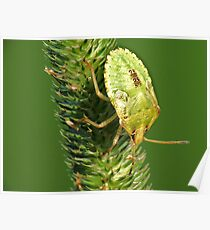 Brown Marmorated Stink Bug Nymph Poster