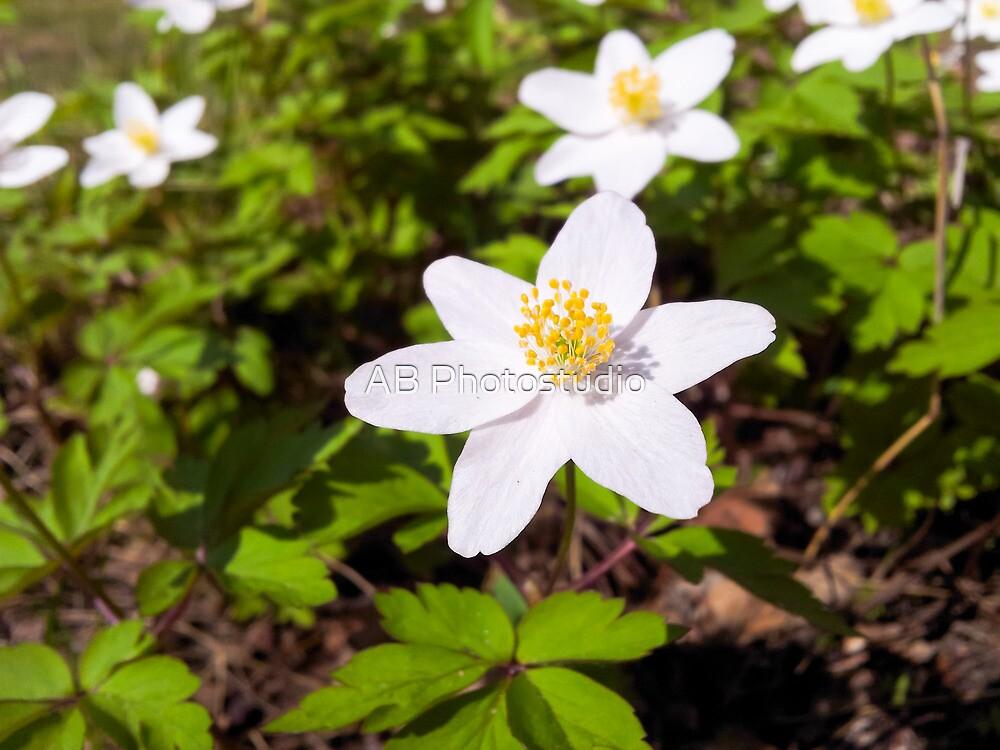 White anemone windflower by Arve Bettum