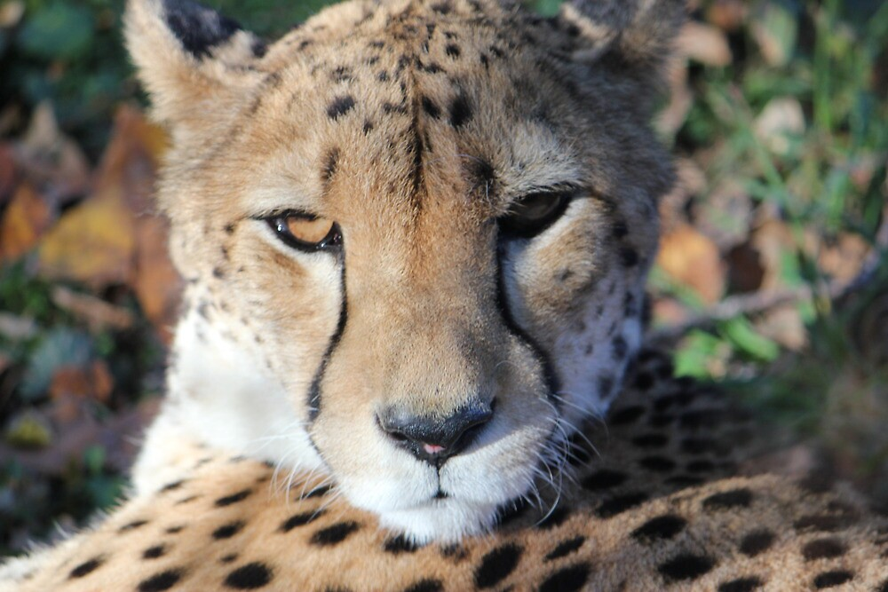 Cheetah by Dominic Perry