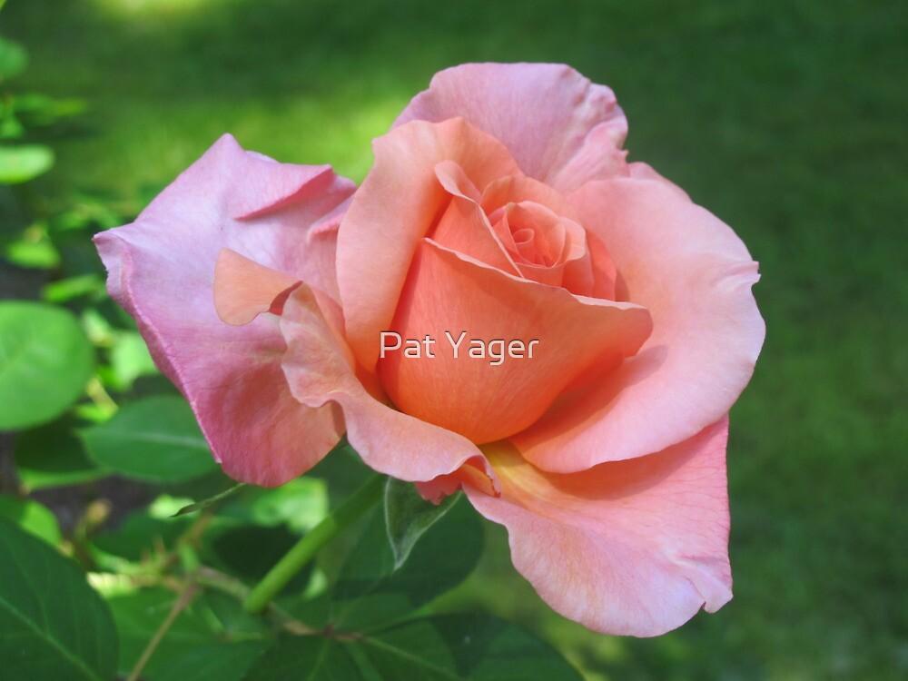 """""""Sunset Celebration"""" Rose by Pat Yager"""