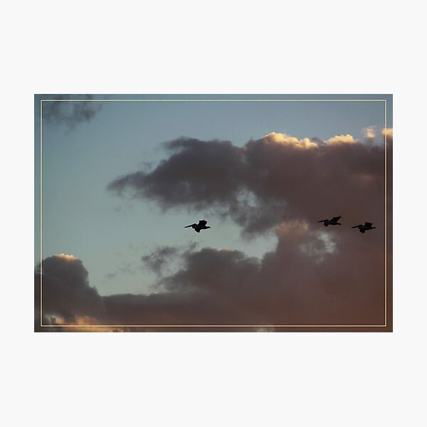 Pelicans returning home Photographic Print