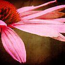 Petals by ACampbell