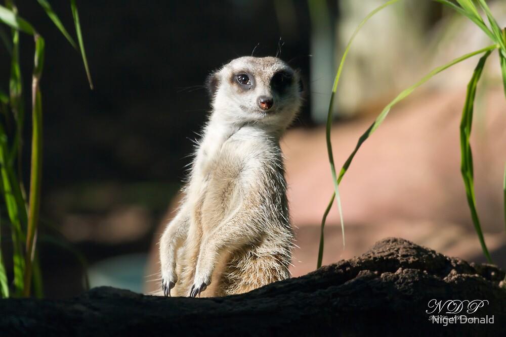 Meerkat by Nigel Donald
