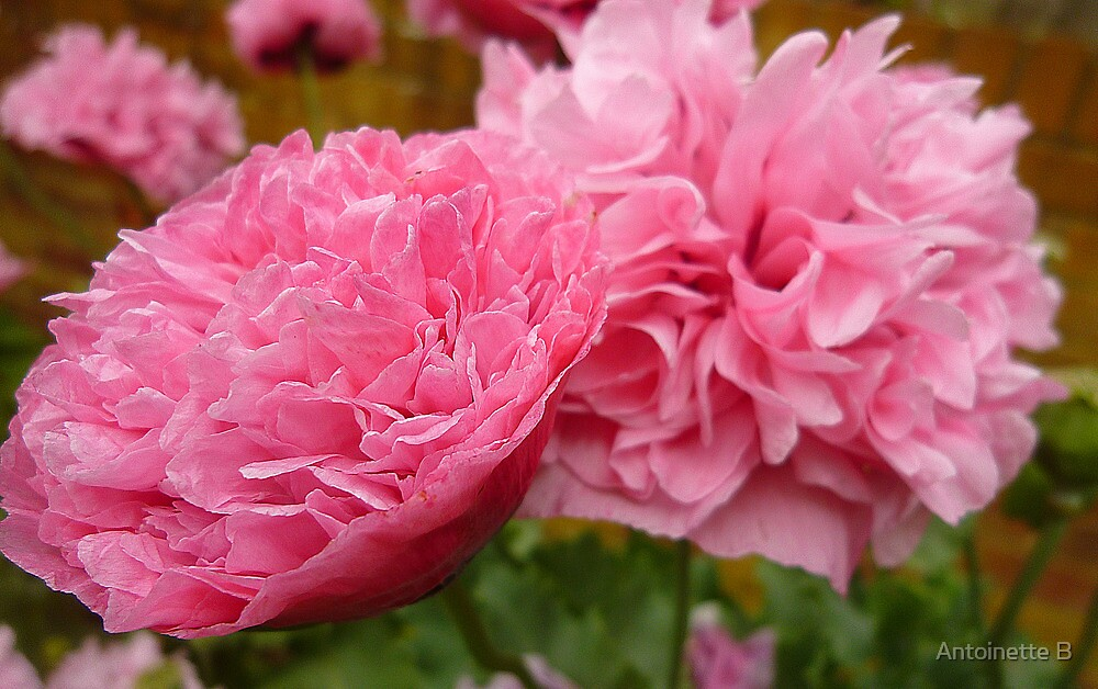 Oriental Poppies by Antoinette B
