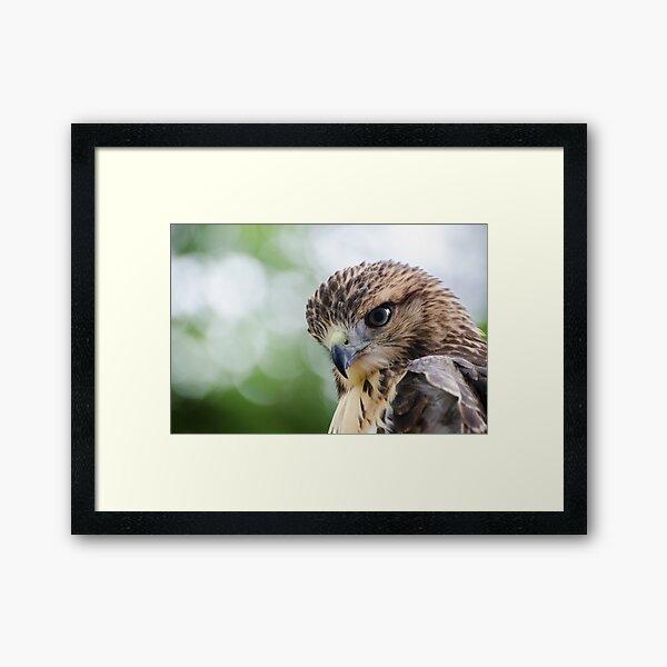 Red-tailed Hawk.4 - Philadelphia, Pennsylvania Framed Art Print
