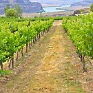 Columbia River through the Vines, Washington State by David Davies