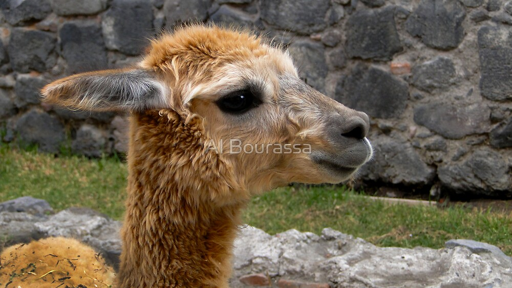 Llama Profile in Guano Ecuador by Al Bourassa