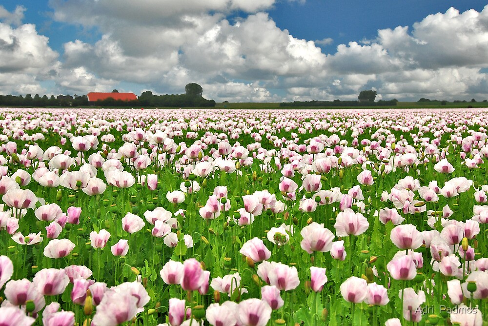 Poppy seed by Adri  Padmos