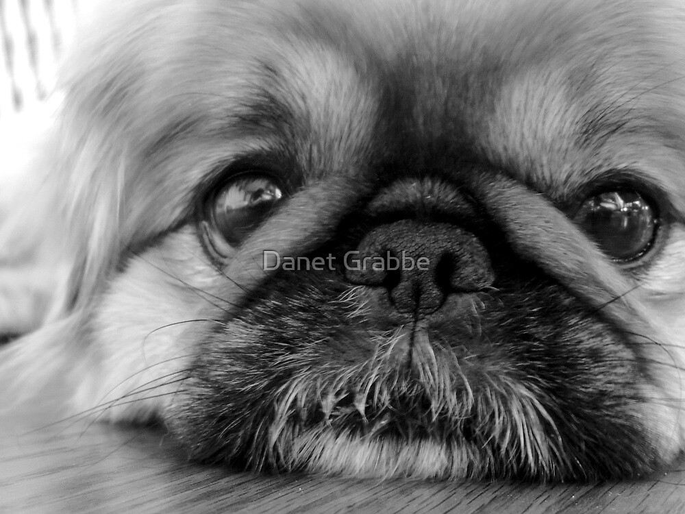 Black and White Pekingese by Danet Grabbe