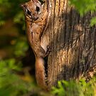 Northern Flying Squirrel in Habitat. by Daniel Cadieux