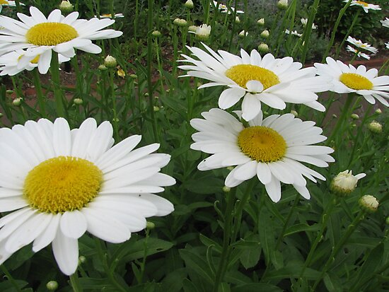 Lots of daisies by PicsbyJody