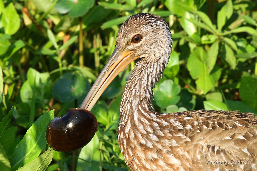 A Limpkin with its catch ! by Anthony Goldman