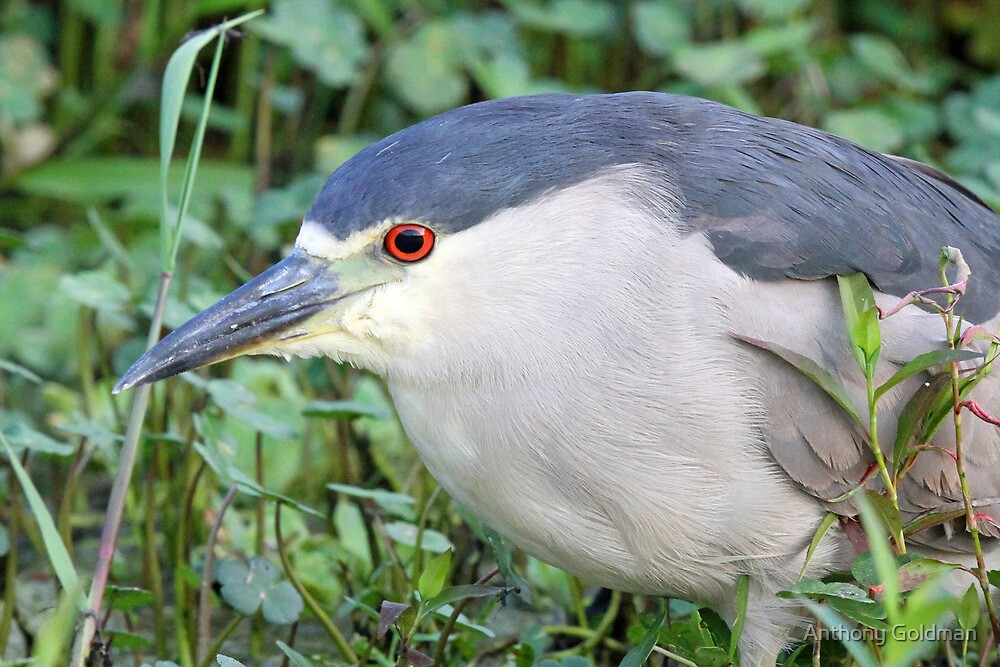 A  Black Crowned Night Heron Profile by Anthony Goldman