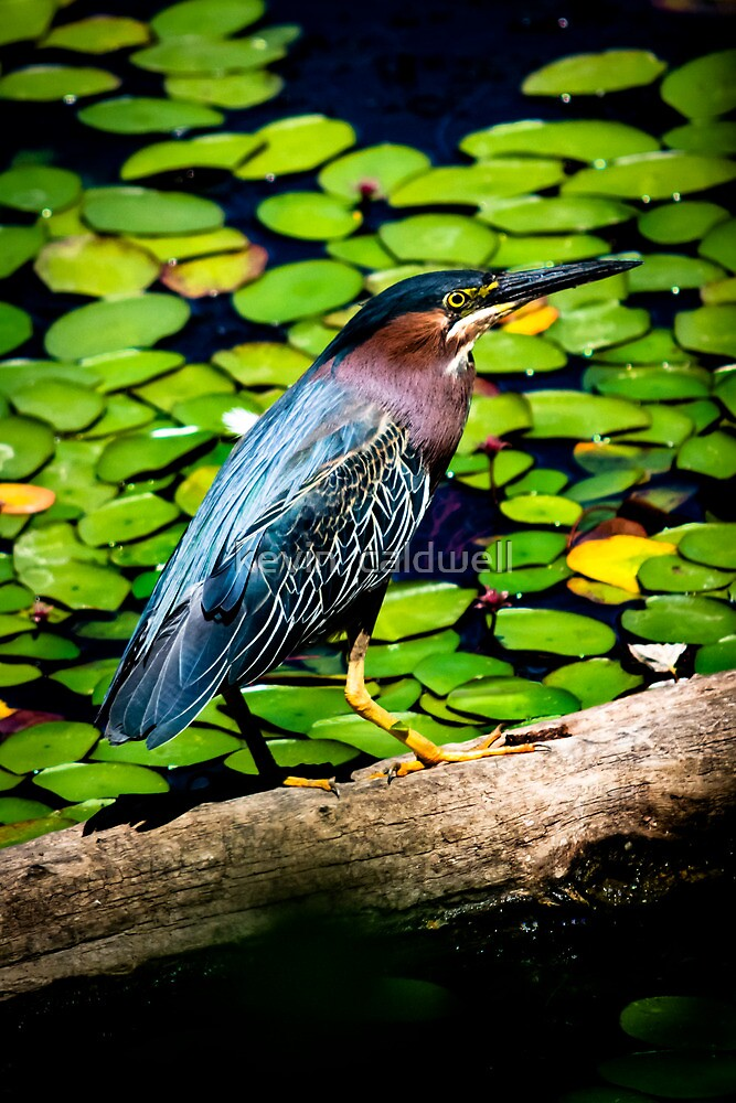 green heron delta ponds by kevin  caldwell