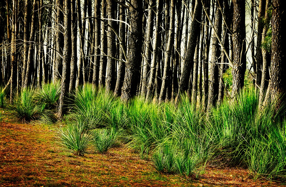 Green among the Pines by Ginter