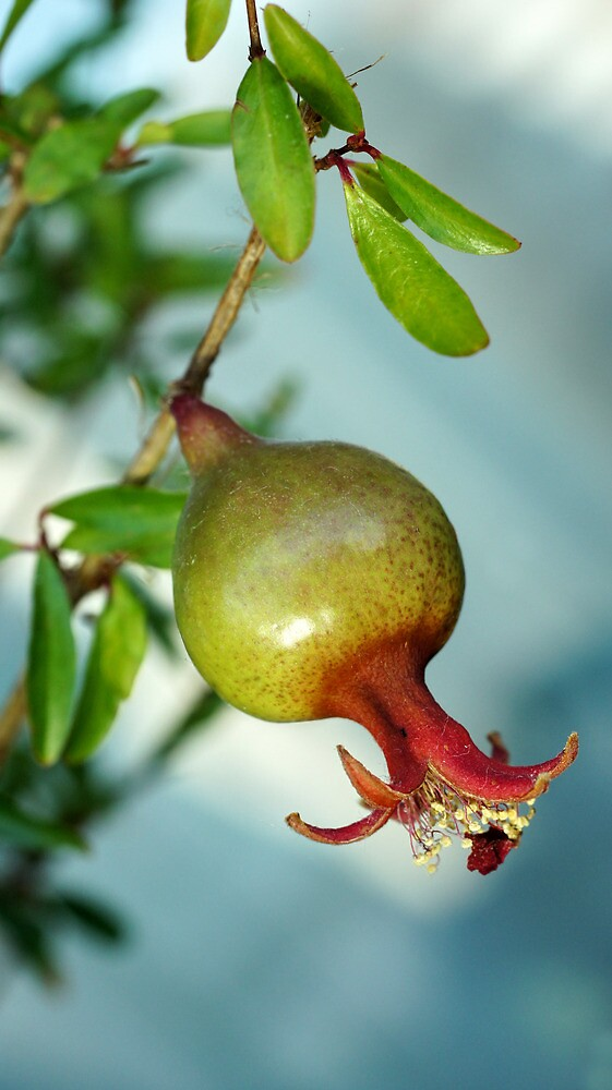 pomegranate on branch by mrivserg