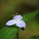 Spiderwort by Seth LaGrange