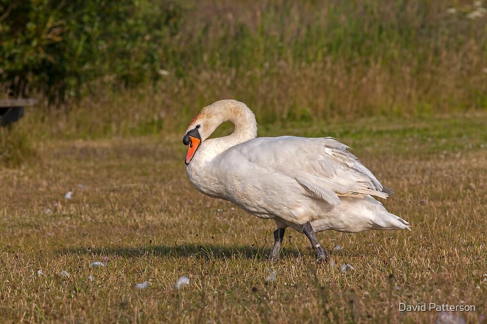 Walking Swan by David Patterson
