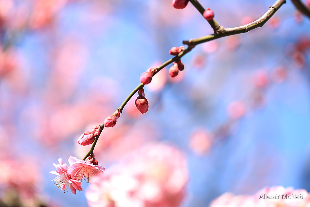 Osaka Sakura by Alistair McNab