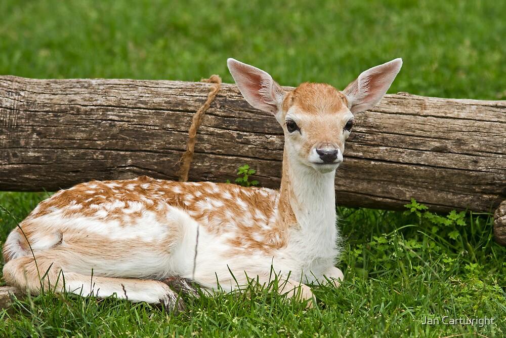 Deer One by Jan Cartwright