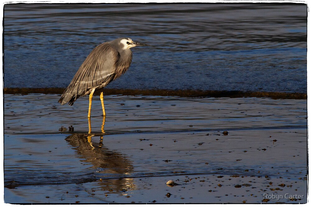 White Faced Heron by Robyn Carter