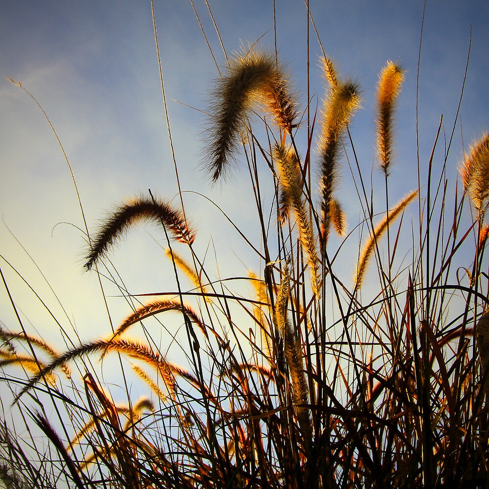 Mouse Tail Grass @ Sunset by Roland de Haas