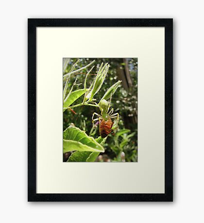 Green Lynx Spider w/ Prey Framed Print