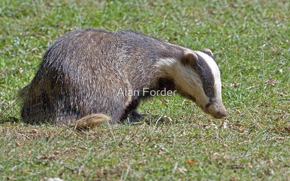 badger by Alan Forder