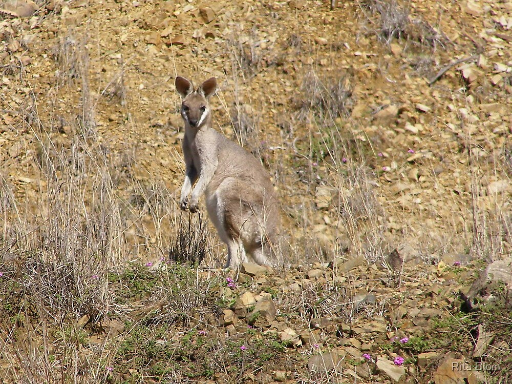 Whiptailed Wallaby, Cania Gorge Nat. Park, hinterland,East Queensland. by Rita Blom