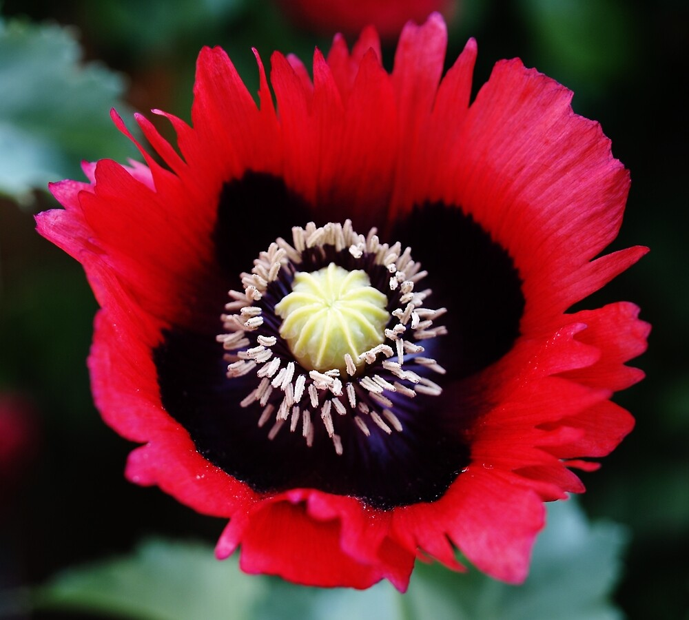 Poppy Flower by Janone